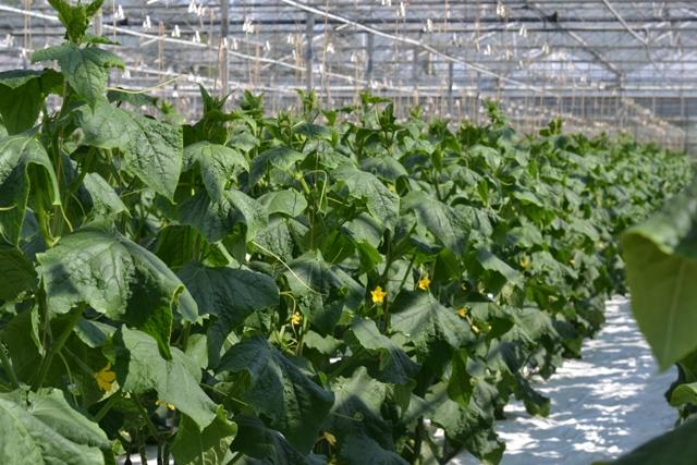 Treibhaus Gurken bei Stoffers Gemüsebau