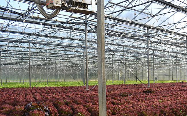 Treibhaus Salat im Winter