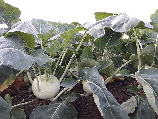 Kohlrabi – der Star im Oktober bei Stoffers Gemüsebau