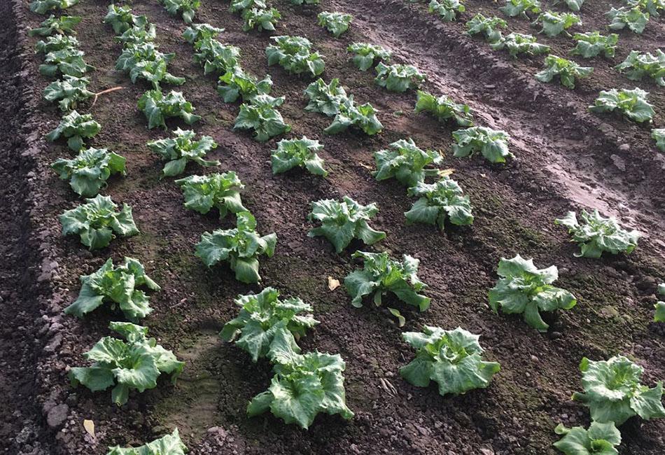 Stoffers - Gemüsebau - Felder - Mai - Krefeld