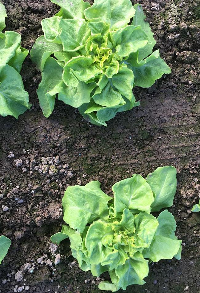 Stoffers - Gemüsebau - Krefeld - junger - Salat