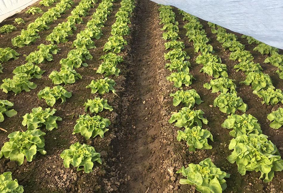 Stoffers - Gemüsebau - Salate - jung - Krefeld