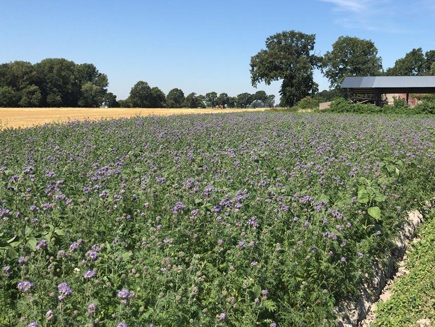 Blühstreifen für die Insekten - Stoffers Gemüsebau