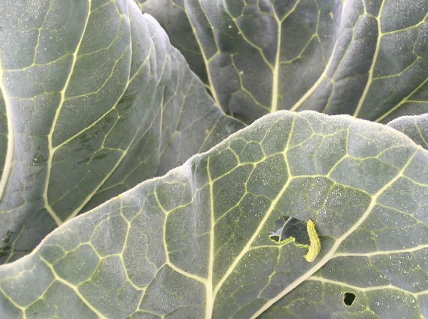 Kohlmotte-Raupe-Stoffers-Gemüsebau