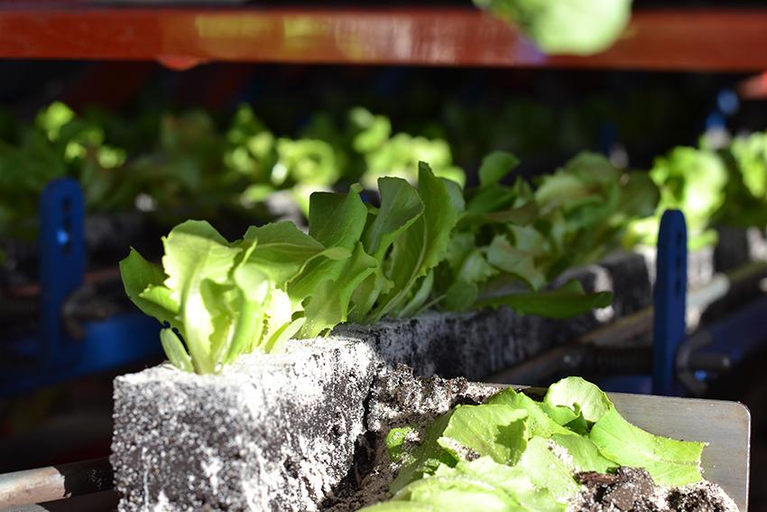 Stoffers-Gemüsebau - Eissalat - Kopfsalat - Blattsalate wie Bionda